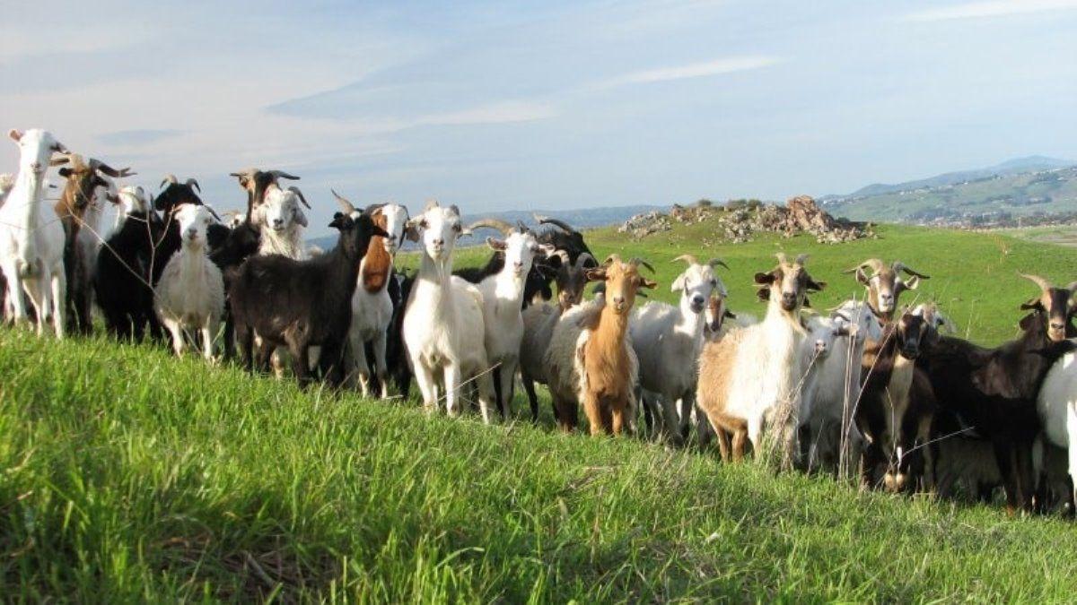 1.-козы-на-пастбище.jpg