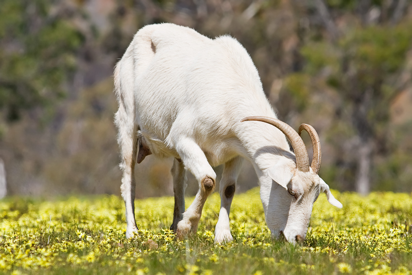 Domestic_goat_feeding_on_capeweed.jpg